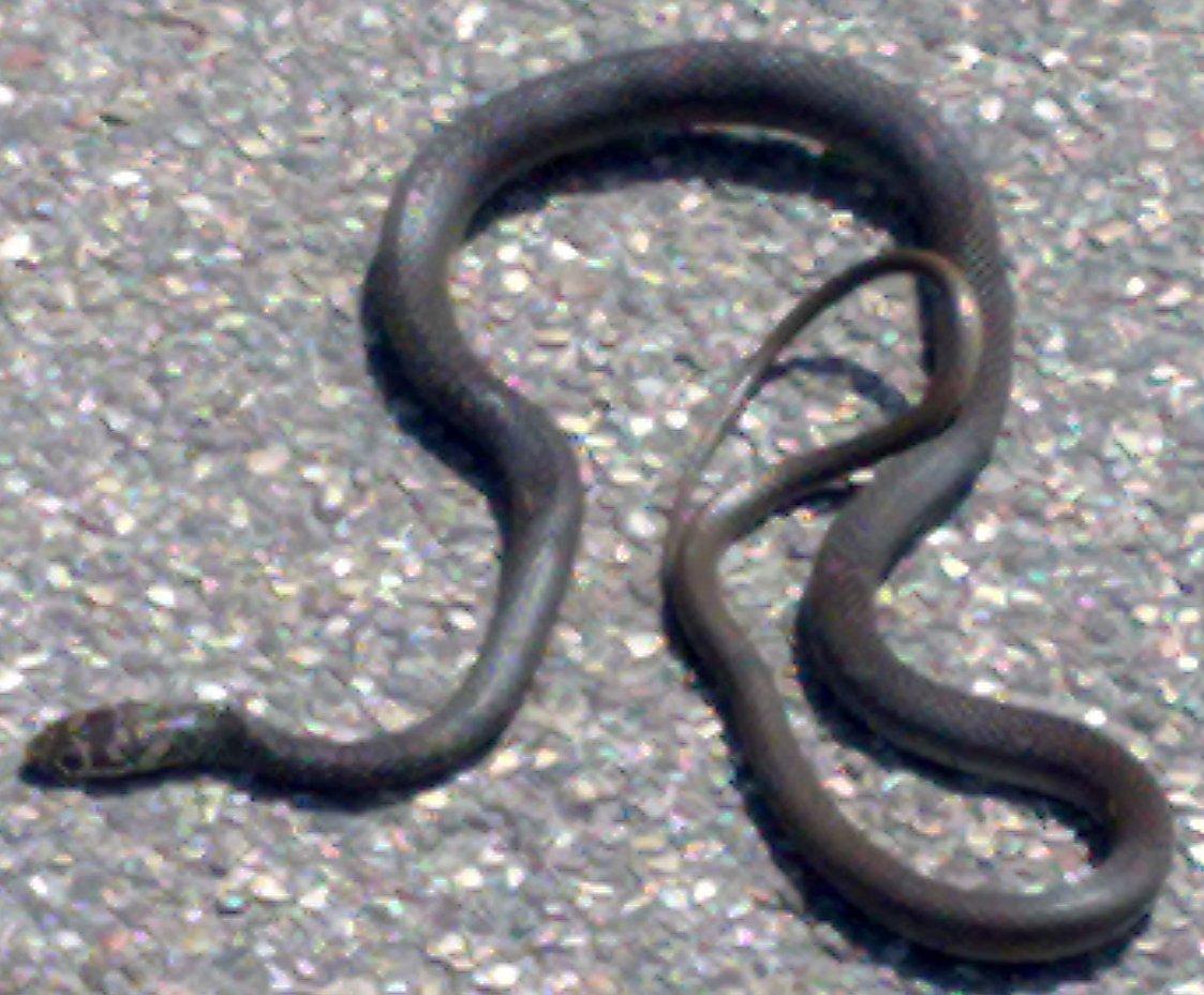Che serpente sanguefreddo net for Biscia nera
